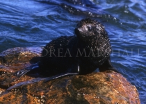 Baby Cape Fur Seal