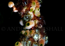 Cluster Growth on Whip Coral
