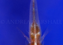 Goby dorsal on tunicate