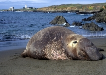 Male Elephant Seal California
