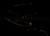Troup of banded pipefish Alor