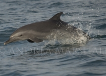Young Spotted Dolphin Ecuador