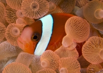 Anemone fish in orange anemone