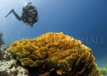 Diver with Lettuce Coral Egypt