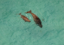 Dugong pair at surface