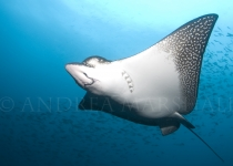 Eagle Ray Blue Water