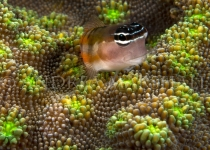 Goby on fluro coral