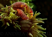 Green Tree Coral Crab