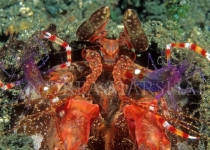 Mantis shrimp and banded cleaner shrimp