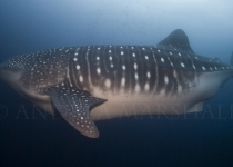 Monster Whale Shark