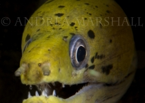 Moray Eel Verticle