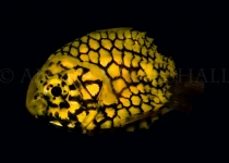 Pineapple fish on black