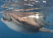 Whale Shark Feeding Portrait Mexico 2015