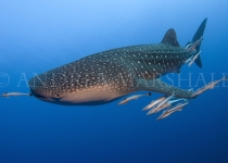 Whale Shark Red Sea