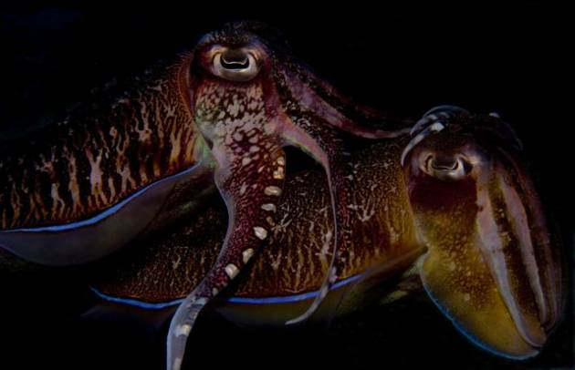 Cuttlefish_Love_Best_630_406_70