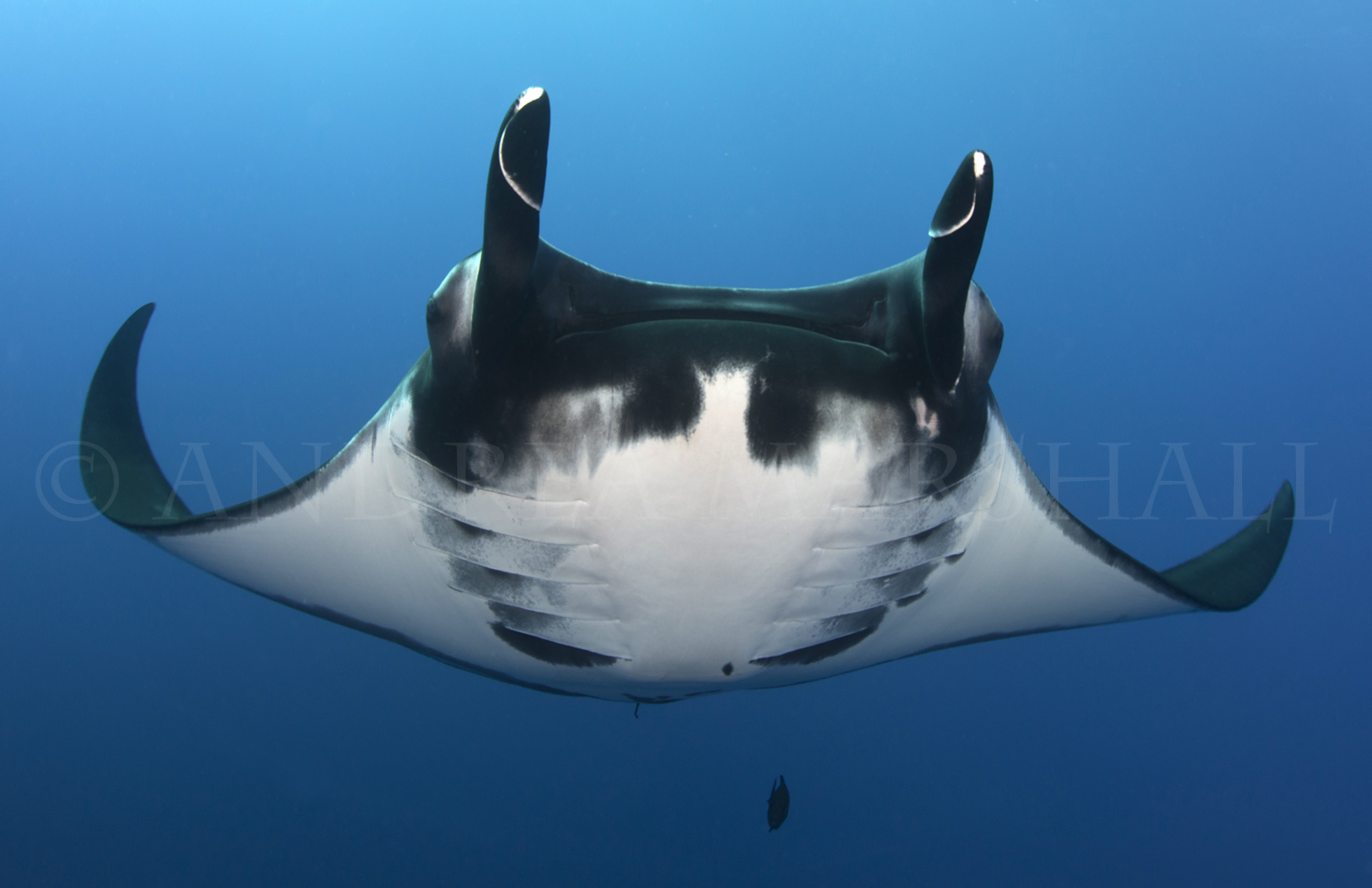Playful Giant Manta Mexico