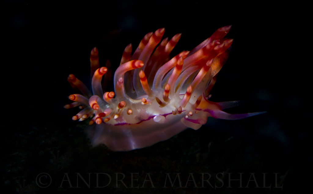 Flame Nudibranch Snoot Batanta 3