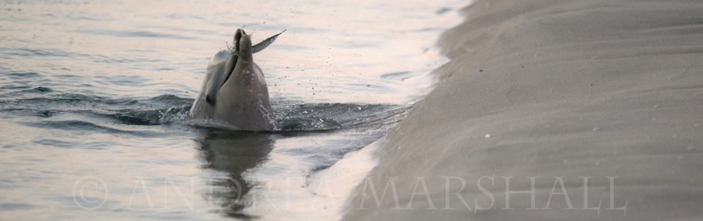Humpback dolphin catching gar fish at dusk