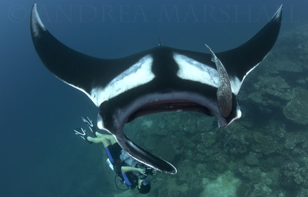 Youth diver photo IDing manta