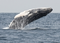 Baby Whale Breaching