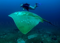Diver and smalleye stingray