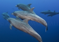 Dolphin pod after hunt
